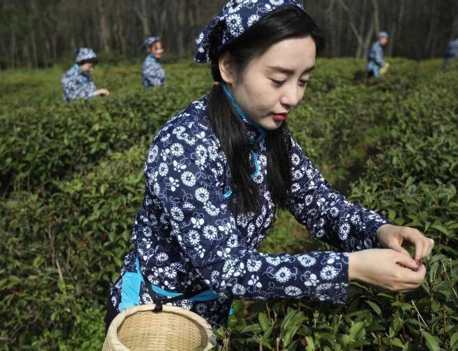採茶姑娘走進南京中山陵園開採雨花春茶