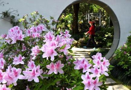 福州西湖公園杜鵑花開引遊人