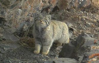"""""""貓plus""""紅外相機捕捉到兔猻活動影像"""