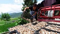 貴州丹寨:大棚菌喜獲豐收