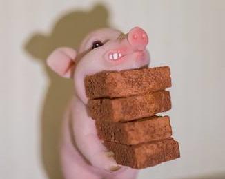 糧食增産在望 養豬信心恢復