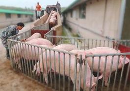 記者深入調研生豬養殖現狀