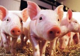 生豬生産三年方案公布