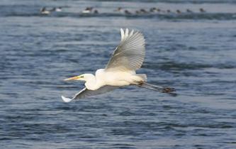 蘭州:冬日黃河水鳥嬉戲