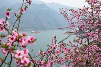 三峽春日桃花紅