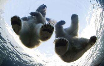 """北極熊情侶""""情變分手"""" 公熊被迫搬家"""