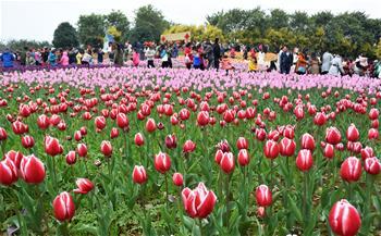 廣西柳州15萬株鬱金香引遊客觀賞