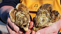 迎情人節 法國牡蠣養殖者養殖心形牡蠣銷售