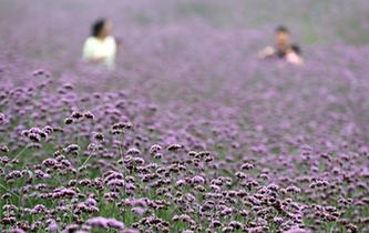 杭州:馬鞭草,那一片紫色的花海
