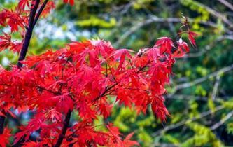 甘肅天水小隴山紅葉似火滿枝頭