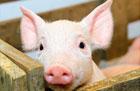 近期猪市出现分化:生猪价格下跌 仔猪却在涨价