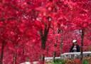 巴南跳石鎮的楓葉紅了!美得簡直不像話……