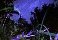 夜精靈——秋之狗哇花
