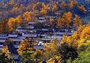 秋染銀杏樹