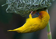 橙頭金織雀