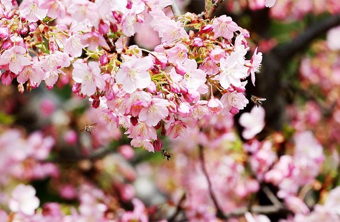 光影下的樱花季 早樱吐蕊摇曳生姿