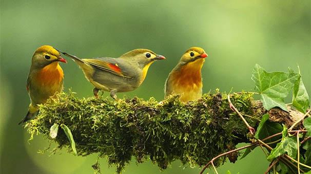 美出新高度!鏡頭高速抓拍相思鳥覓食瞬間