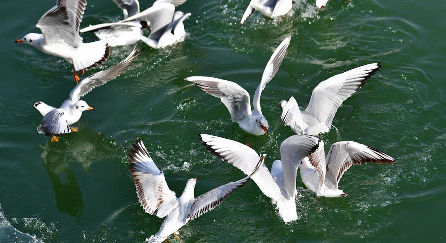 攝影師抓拍鷗鳥翔集黃河水岸 帶來春天靈動氣息