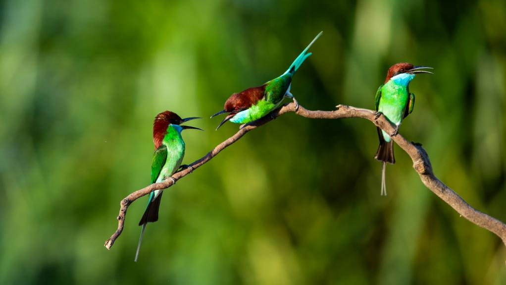 攝影師抓拍東南亞藍喉蜂虎 色彩艷麗飛翔嬉戲