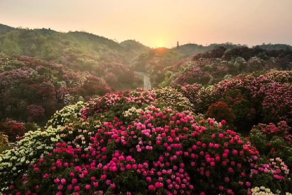 【新華圖視】貴州百裏杜鵑進入盛花期