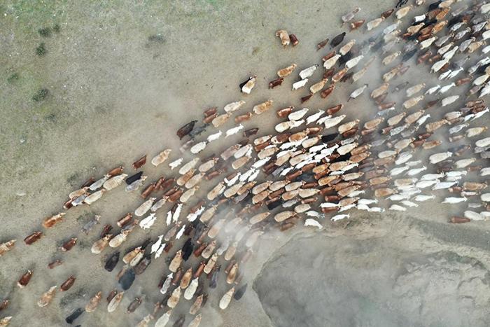 【新華圖視】新疆阿勒泰:牧民引著牲畜向夏牧場進發