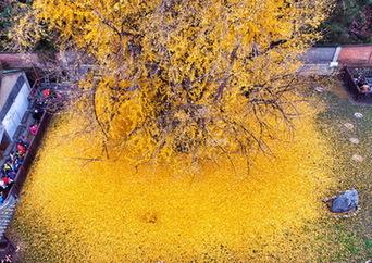 銀杏落葉成金毯