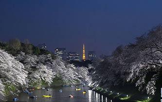 """日本樱花季:摄影师拍下流光溢彩""""夜樱"""" 光影婆娑如梦如幻"""