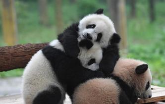 重慶動物園三只大熊貓幼崽集體亮相