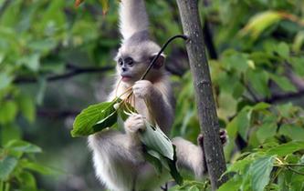 探訪香格裏拉滇金絲猴國家公園