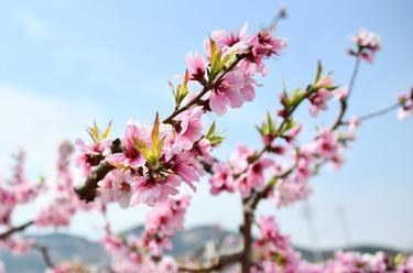 山東濟南:萬畝桃花笑春風
