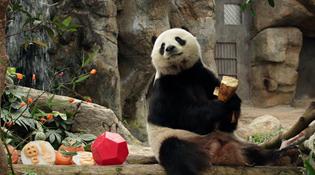 香港兩只大熊貓首次成功自然交配