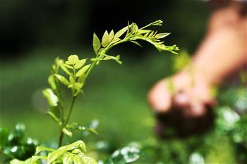 重慶黔江:藤蔓長成致富茶
