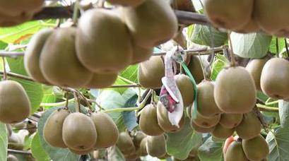 小小獼猴桃引發山鄉巨變