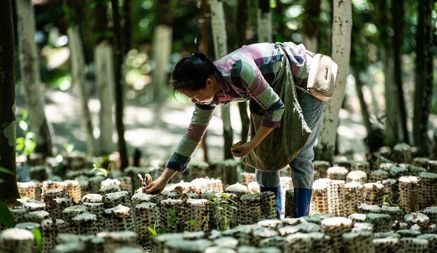 小小菌菇托起貧困群眾就業夢