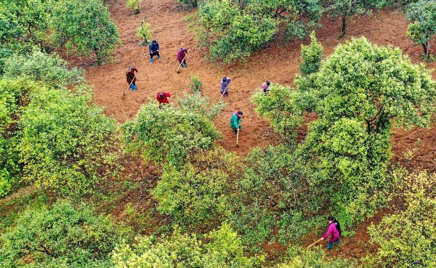 貴州玉屏:油茶産業生態化助農增收