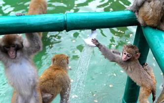 河南濟源酷暑難耐 上百野生獼猴扎堆衝涼
