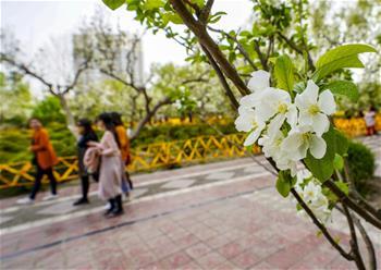 新疆庫爾勒:梨城四月花正香