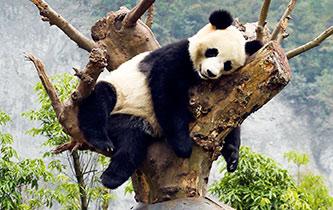 大熊貓享受秋日時光