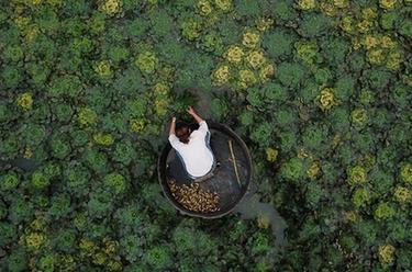 浙江湖州:秋風起 採菱忙