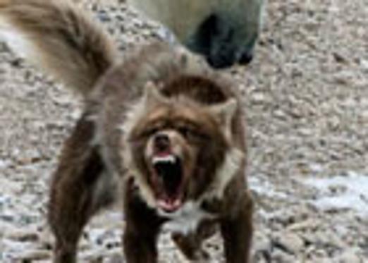 雪橇犬咆哮吓退北极熊