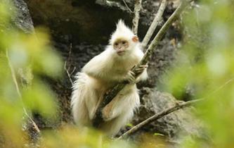 廣西發現罕見白化黑葉猴