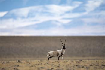 藏羚羊的家園