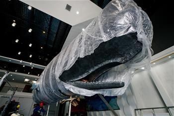 江蘇如東:一年前擱淺死亡抹香鯨被制成標本後開始組裝