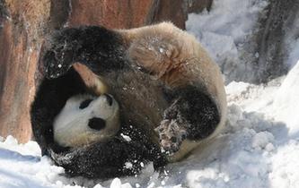 大熊貓雪地玩耍 萌態可掬