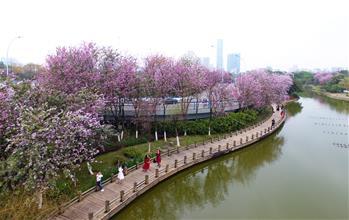 廣西柳州:24萬株洋紫荊競相綻放