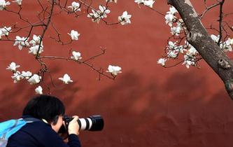 京城賞花正當時