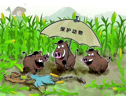 農民辛苦一年,野豬一夜毀完