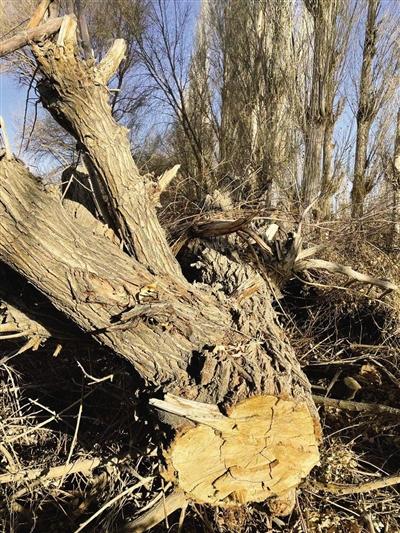 万亩沙漠防护林被毁 敦煌防沙最后屏障几近失守
