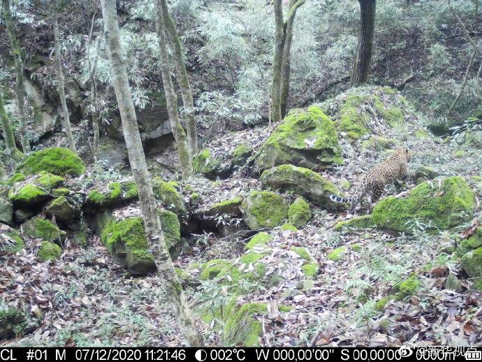 给力!陕西长青保护区首次在低海拔区域拍摄到金钱豹影像