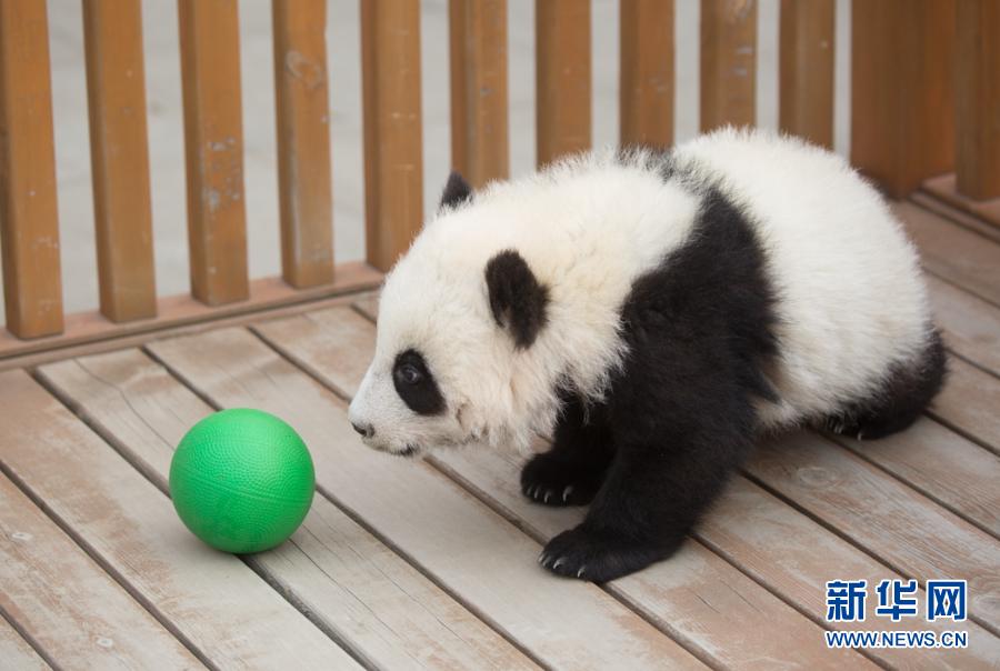"""迎来""""子三代""""时代!陕西:4只秦岭大熊猫""""新生儿""""顺利命名"""
